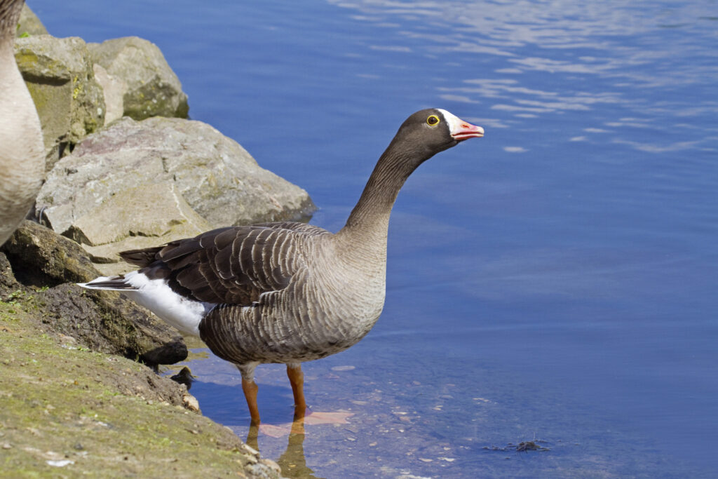 Lesser White-fronted Goose (Anser erythropus) by water. Endemic to Arctic Eurasia. Vulnerable. Captive.